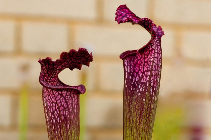 Carniverous plants Kew gardens