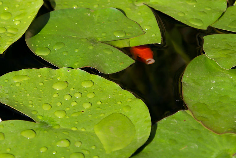 Lilly leaves and a gold fish