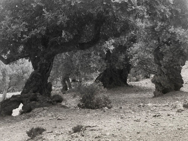 Old Olive trees B&W