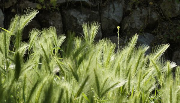 Grass seeds catch tyhe morning sun