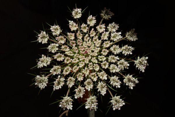 Queen Anne's lace flower-head