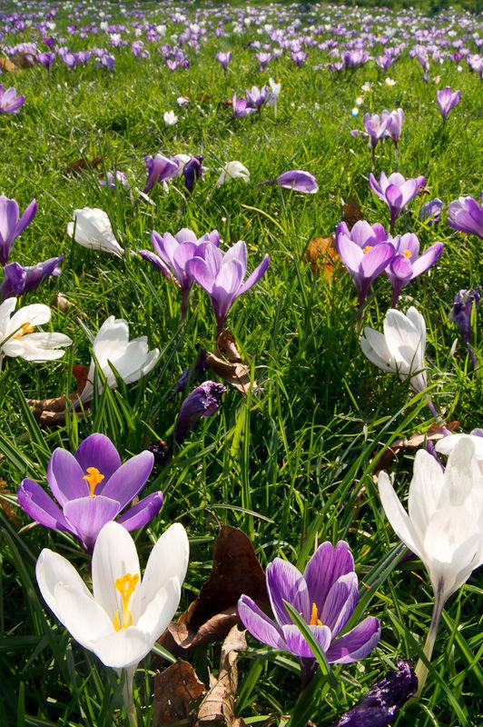 Crocus' in spring sunshine