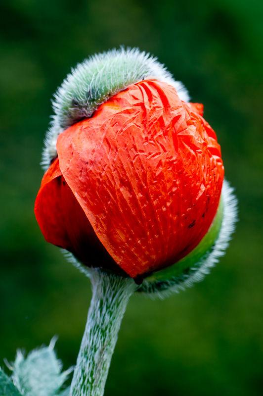 Poppy bud bursting red green
