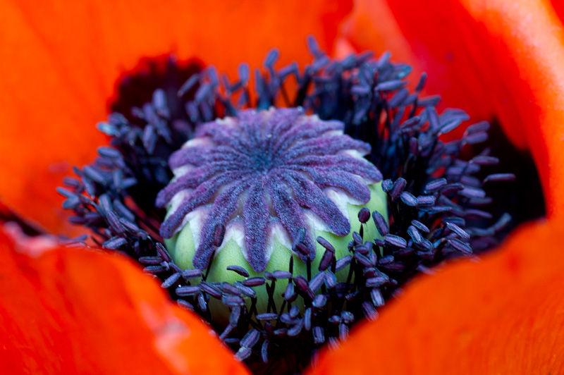 Poppy red purple staymens stigma