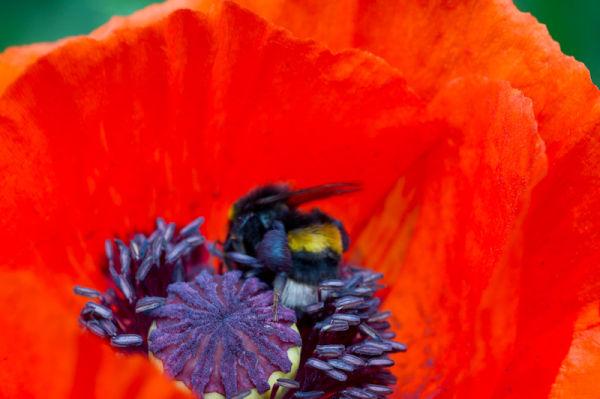 Poppy red purple staymens stigma bee