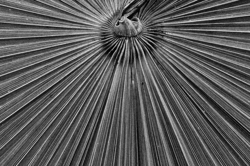 Converging radial pattern of a palm leaf B&W