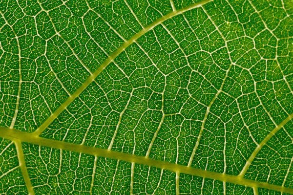 Fig leaf veins