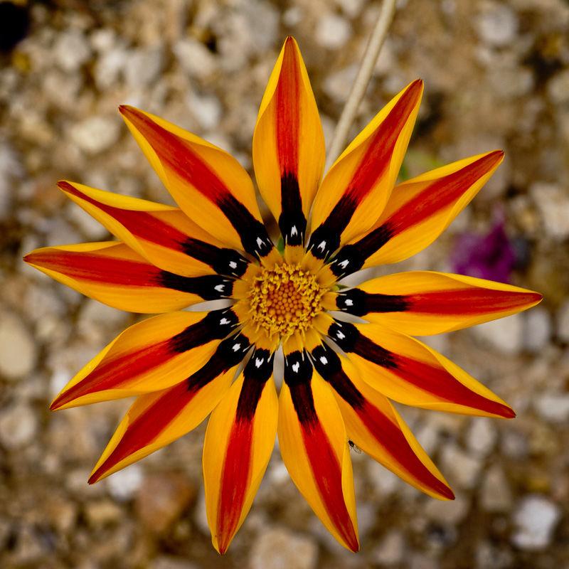 Flower as mandala
