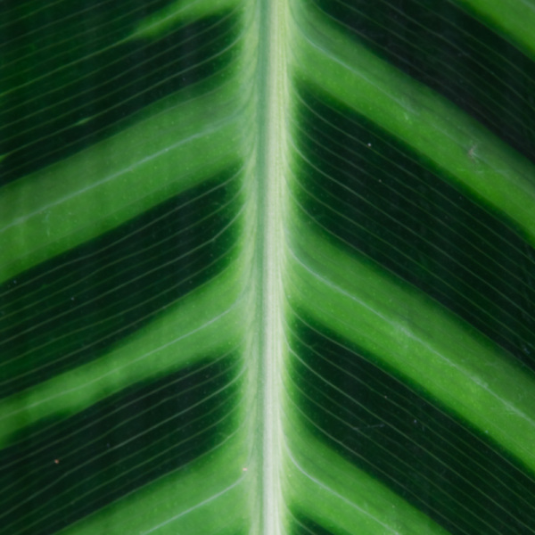 Leaf pattern of a tropical plant