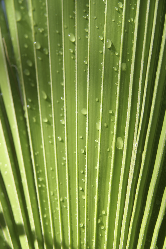 Leaf pattern of a Palm