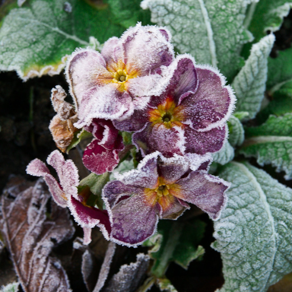 frosty crimson flower