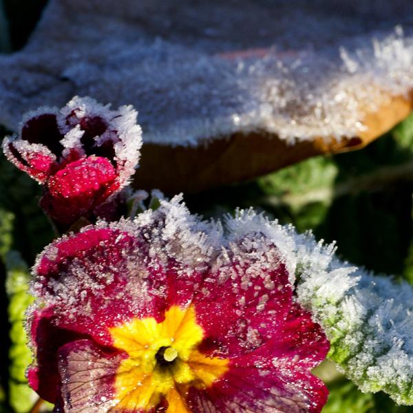 frosty crimson flower