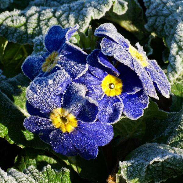 frosty blue flower