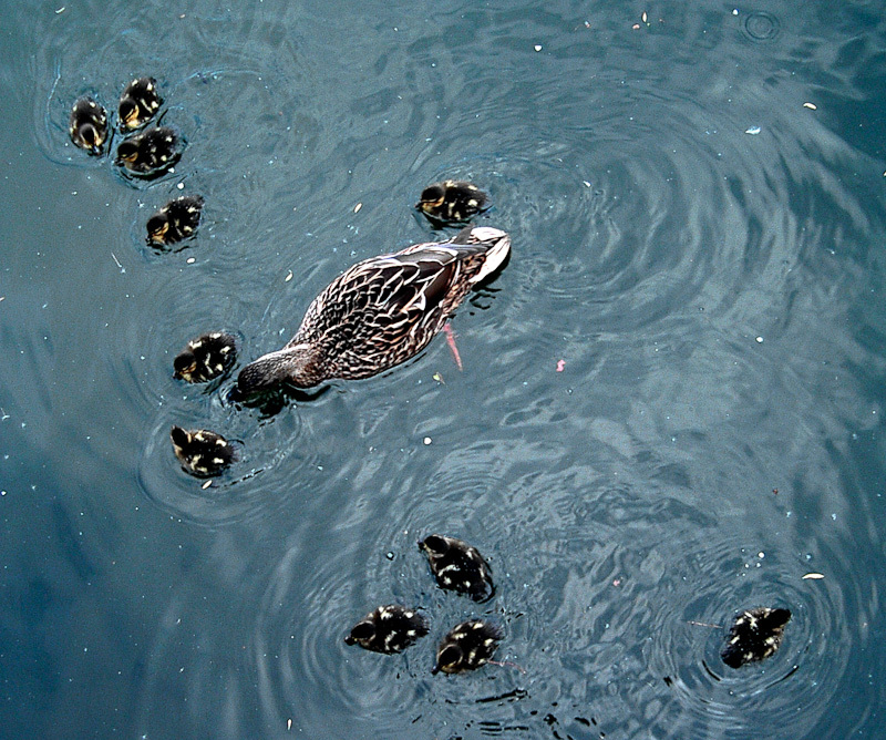 duck and duckings