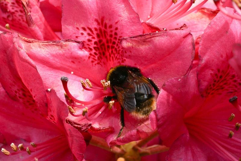 Macro bee pink flowers