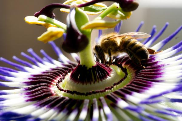 passsion flower, bee