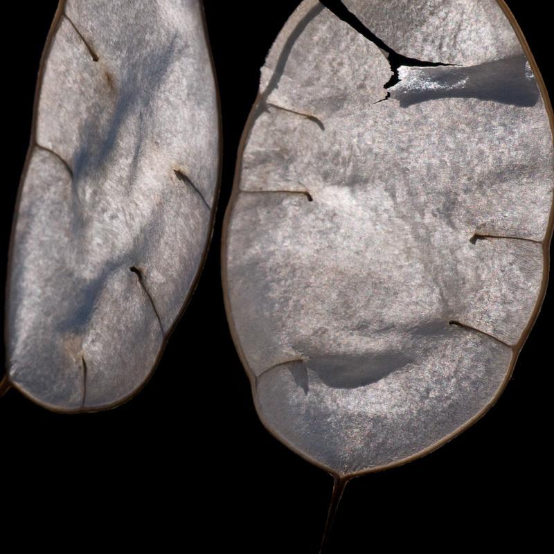 Honesty seed pod shells
