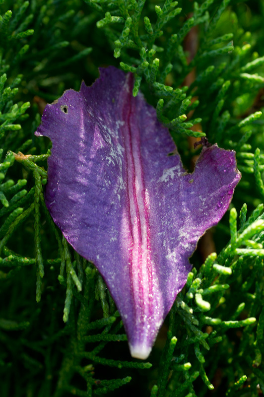 Purple Clematis petal on green fir leaves