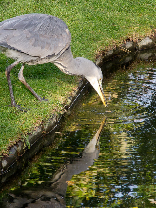 Grey Heron and reflection