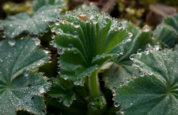 Dew droplettes on leaves