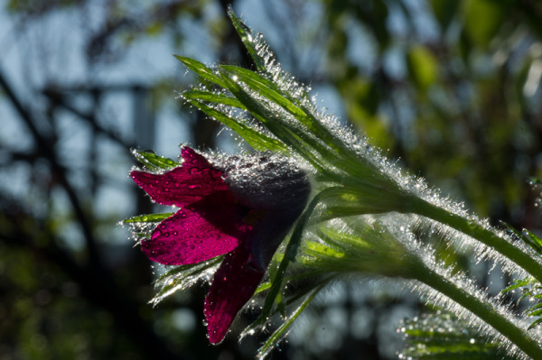 Early morning flowering