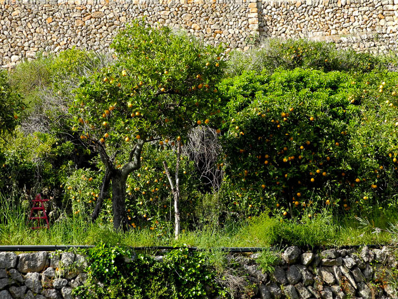 Orange trees Soller Mallorca