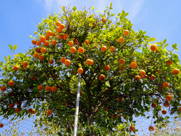 Orange tree Soller Mallorca