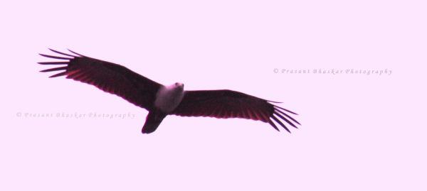 Eagle on Flight..