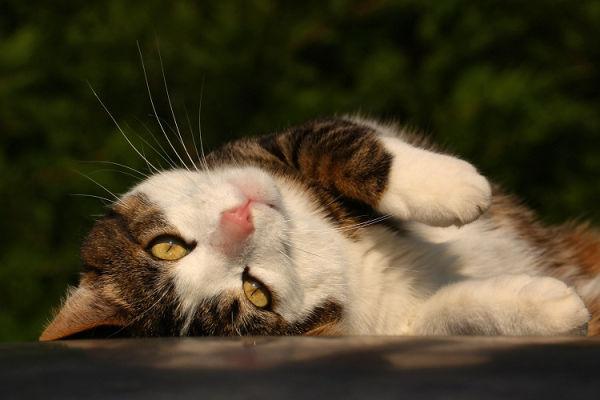 chat vautré