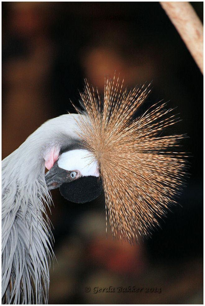 De kraanvogel.
