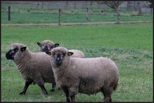 Prachtige schapen!