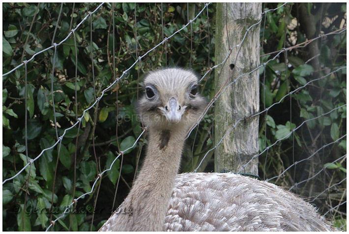 Struisvogel!
