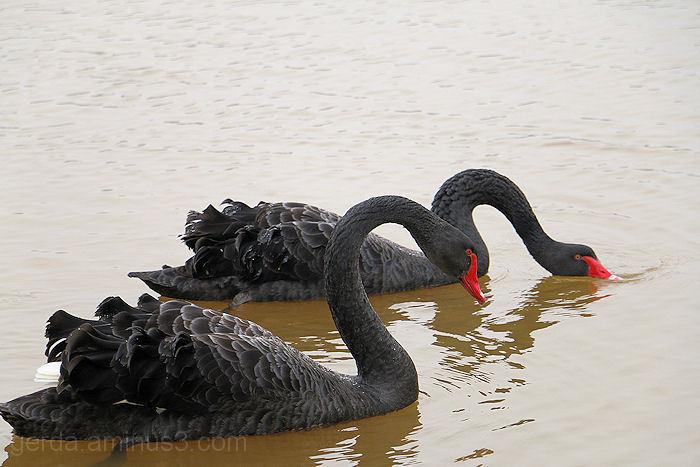 Zwarte zwanen!