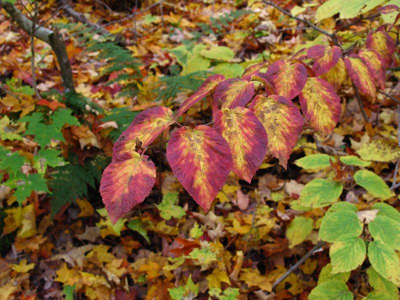 Algonquin Ontario Autumn leaves colours