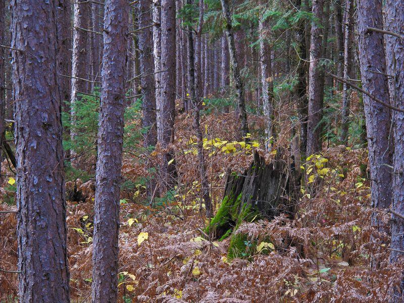 Algonquin Autumn colours leaves forest trees bark