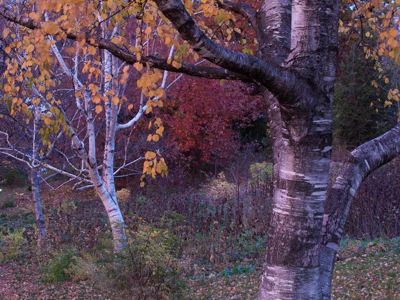 """""""High Park"""" Toronto Autumn Colour trees birches"""