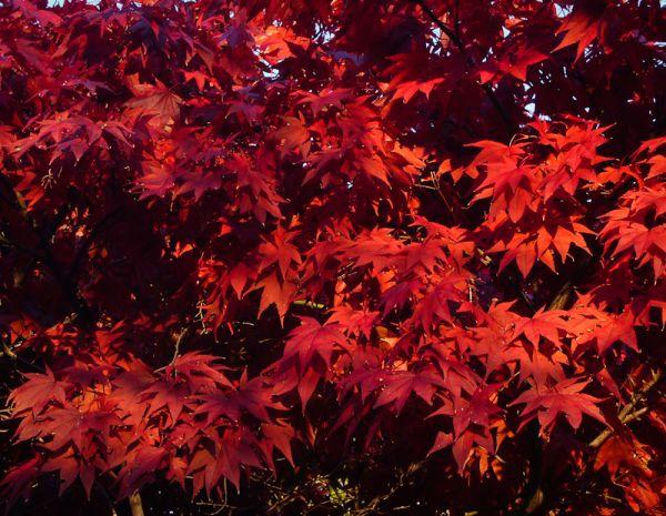 """High Park"" Toronto Autumn Colour leaves maple"