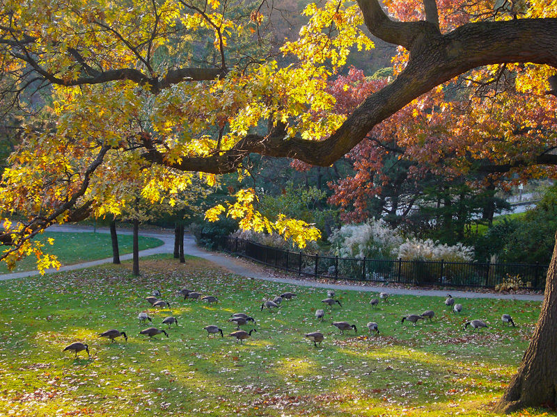 """High Park"" Toronto Autumn Colour gees animals oak"