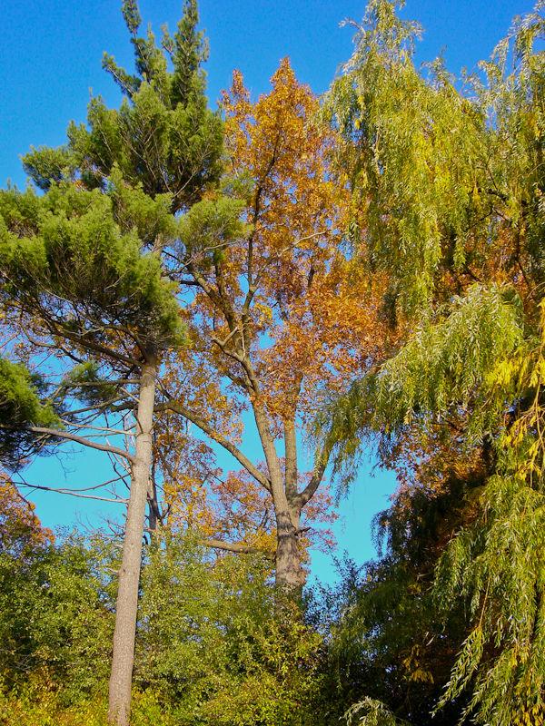 """High Park"" Toronto Autumn Colour trees"