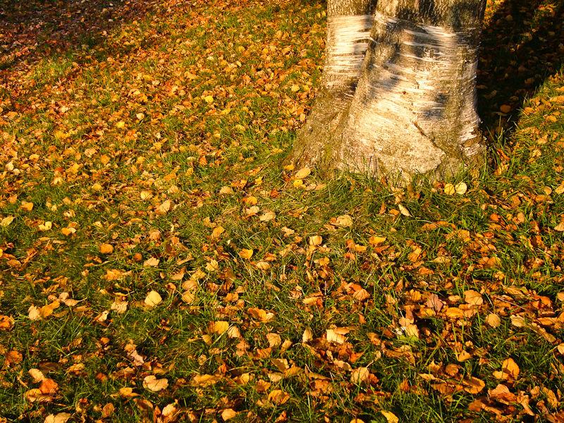 """High Park"" Toronto Autumn Colour leaves birches"
