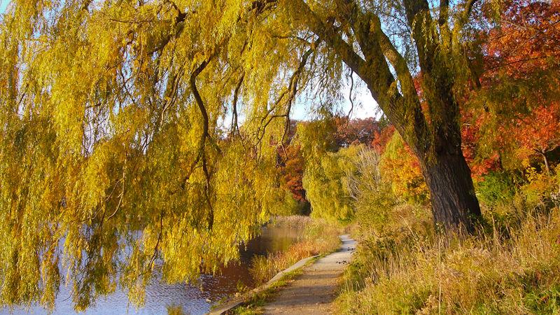 """High Park"" Toronto Autumn ""Grenadier Pond"" willow"