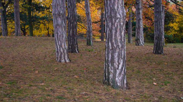 """High Park"" Toronto Autumn Colour trees pines"