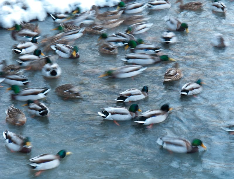 """High Park"" Toronto Winter snow ducks cold"
