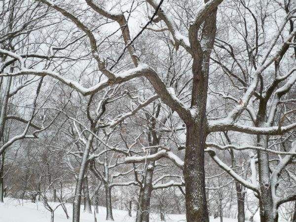 """High Park"" Toronto Winter oak trees"