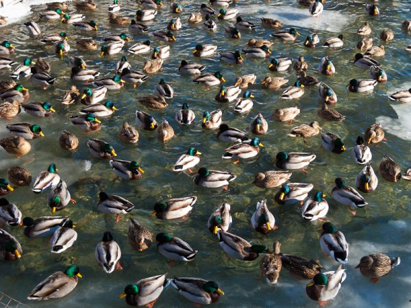 "Toronto ""Toronto Islands"" Winter cold ducks"