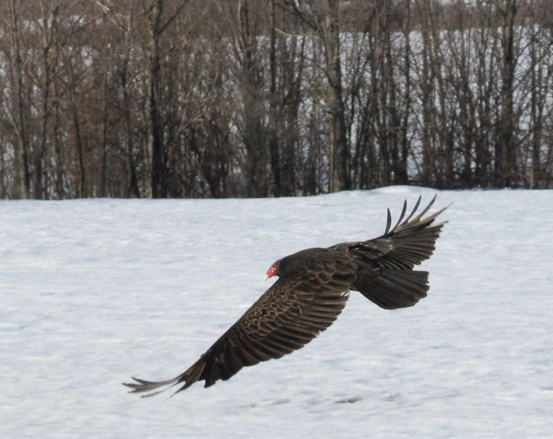 "Winter snow animals ""turkey vulture"""
