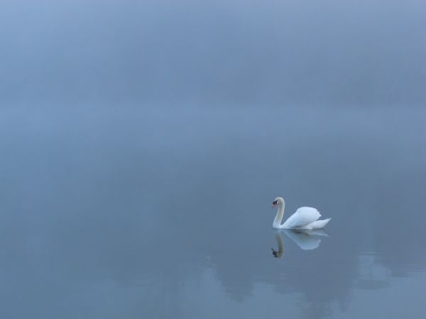 """High Park"" Toronto ""Grenadier Pond"" swan fog"