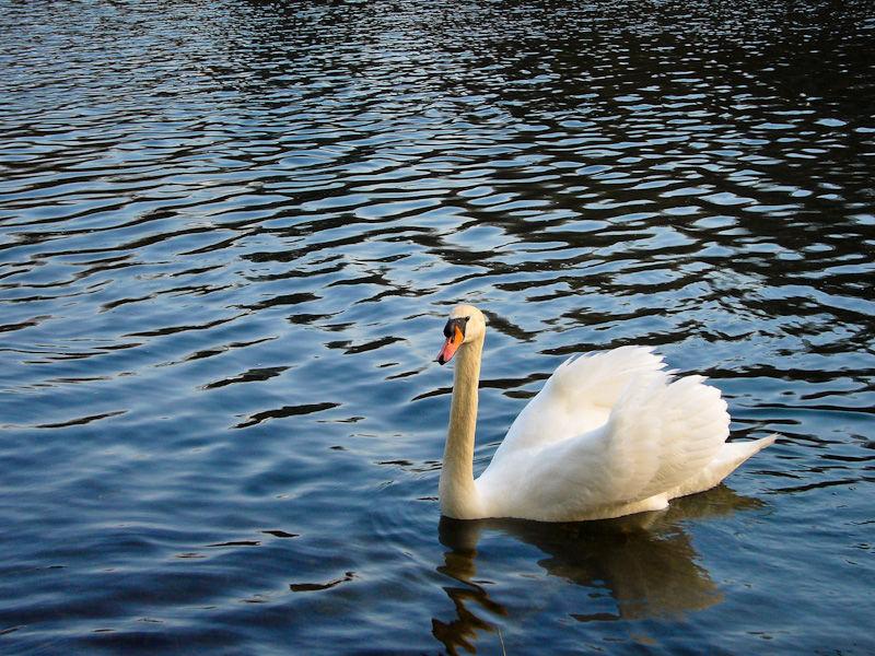 """High Park"" Toronto ""Grenadier Pond"" swan"