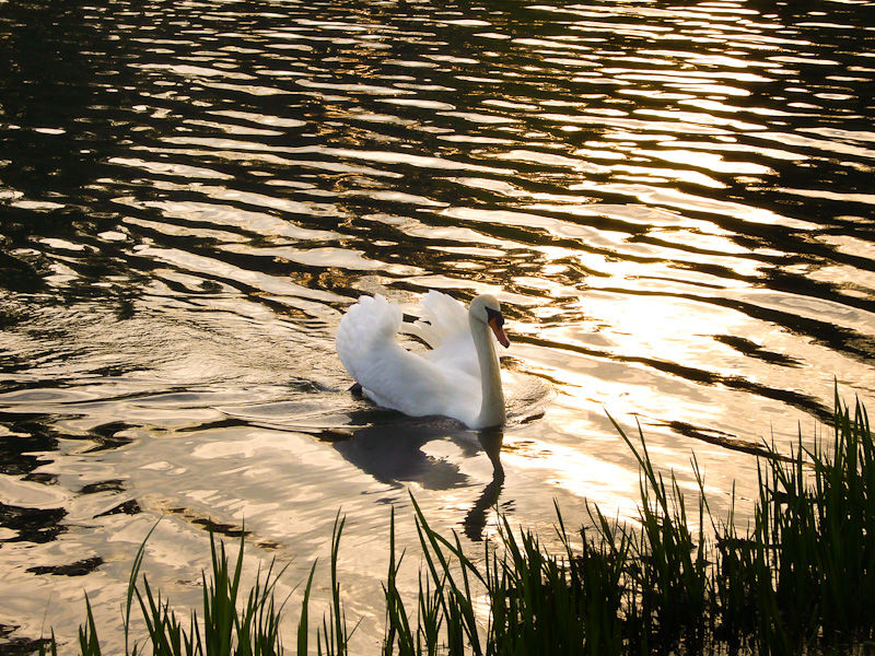 """High Park"" Toronto ""Grenadier Pond"" swan sunset"