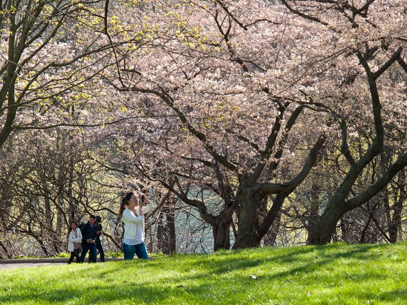 """High Park"" Toronto cherry blossom sakura people"